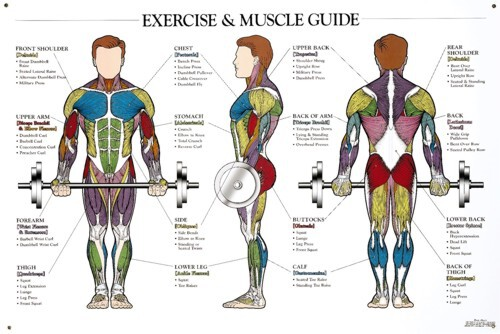 Exercise and Muscle Guide - Male