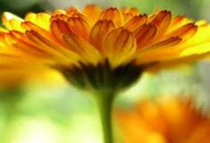 Calendula Petals 500g - - WAS $32.50 - 30% off