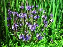 Vervain Herb Cut 1kg -100% PURE - Human Grade with no additives