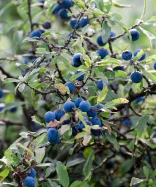 Sloe Berry Fruit 30 Seeds Prunus Spinosa Blackthorn